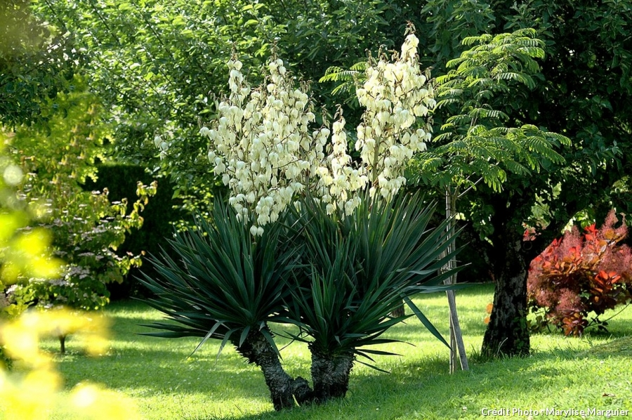 Un yucca fleuri